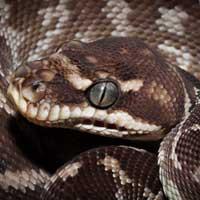 Rough Scaled Python Thumbnail
