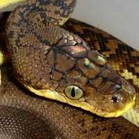Timor Python Thumbnail