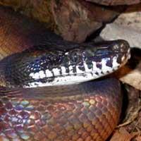 White Lipped Python Thumbnail
