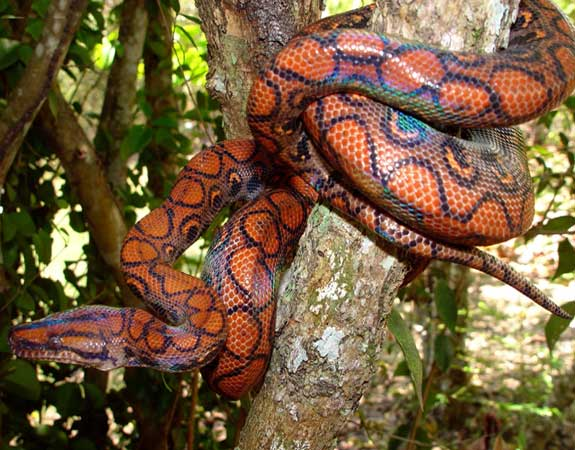 Colombian Rainbow Boa