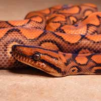 Dot-Dash Cali Kingsnake