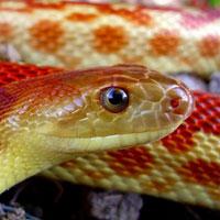 Baja-Gopher-Snake