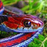 Blue Striped Garter Snake