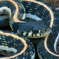 Western Black Garter Snake